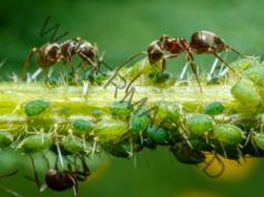 Разтвор срещу листните въшки и мравките. Ефективно решение
