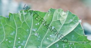 Разтвор срещу листни въшки, който ги елиминира веднага