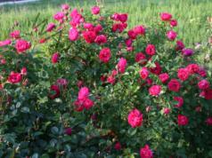 Резници от роза - подготовка, засаждане и грижи