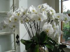 Стимулирайте корените на орхидеята с този лесен трик!