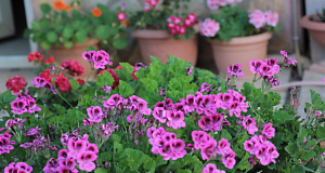 Тор за стайни цветя, който гарантира обилен цъфтеж