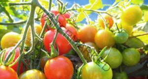 Универсален тор за домати, който ви гарантира успешна реколта
