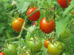 Чеснова вода за доматите - предпазва ги от болести и вредители
