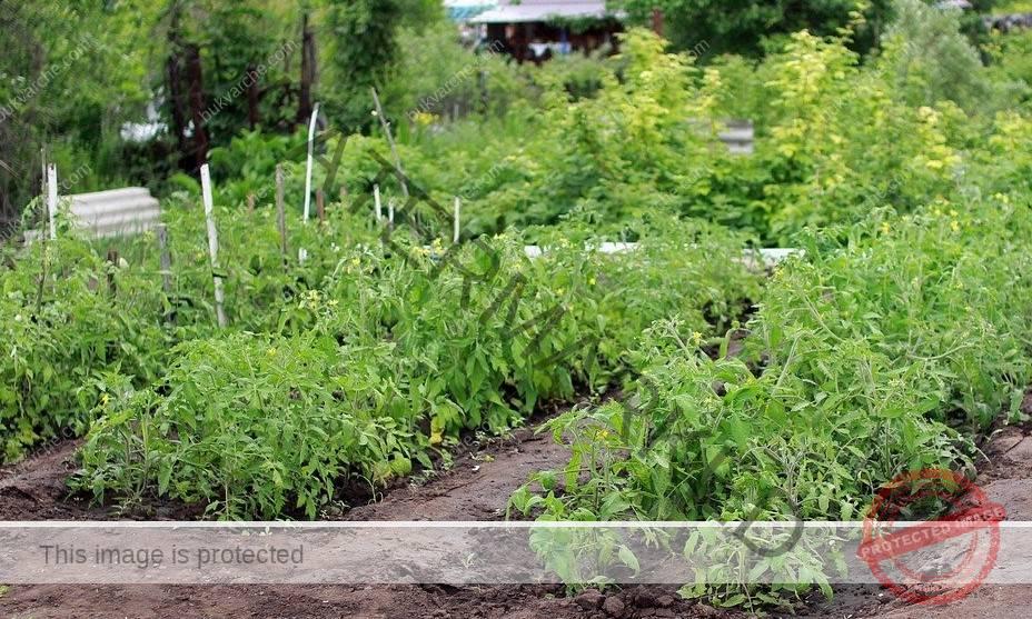 Мая за подхранване на разсада и ягодите за добра реколта