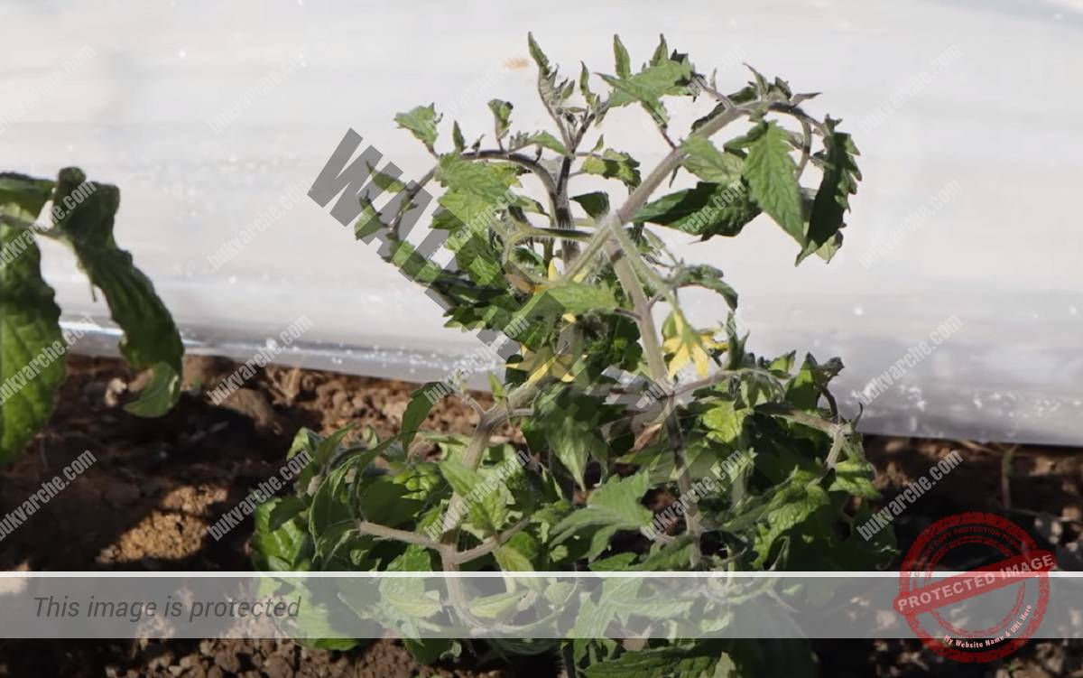 Грижа за доматите през юни, през периода на цъфтеж