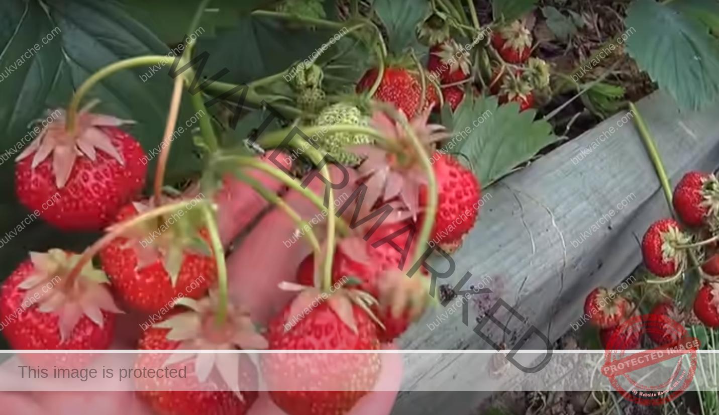 Двойна реколта от ягоди благодарение на този трик