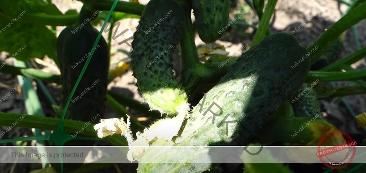Витаминен тор за краставици за ранна и богата реколта
