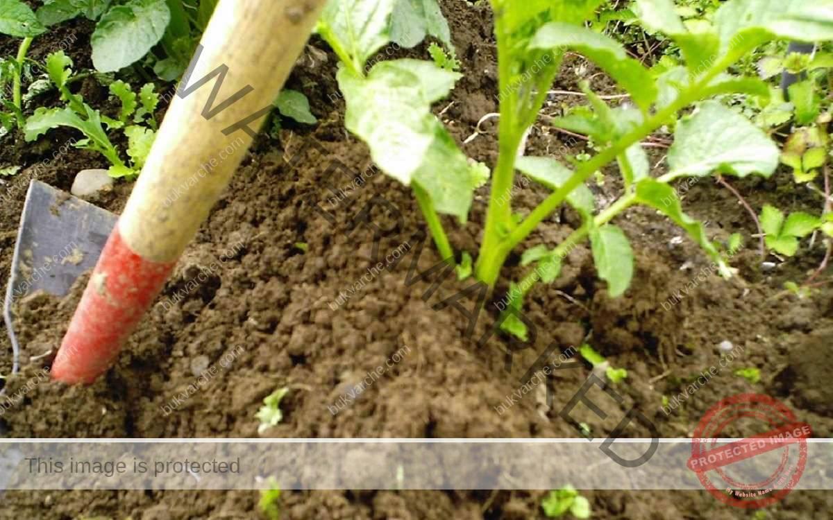 Двойна реколта от картофи: как да го постигнете?
