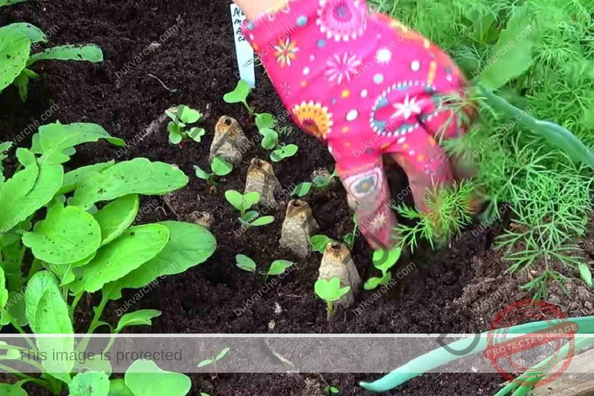Как да посеете репички, за да получите ранна реколта