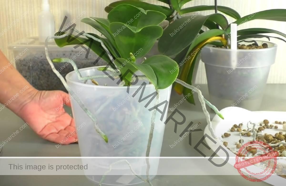 Пресаждане на орхидея - ето как да го направите правилно