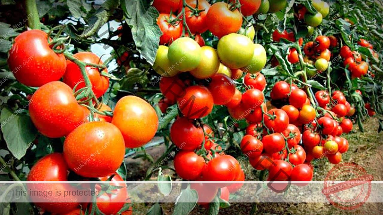 Голям добив от домати - лесен начин да го постигнете
