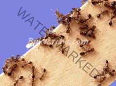 Без мравки у дома и в градината - домашни средства