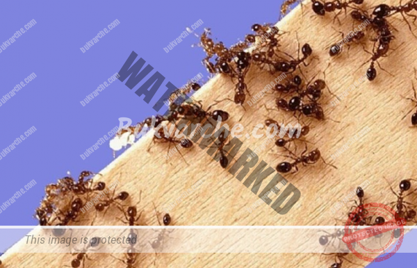 Без мравки у дома и в градината – домашни средства