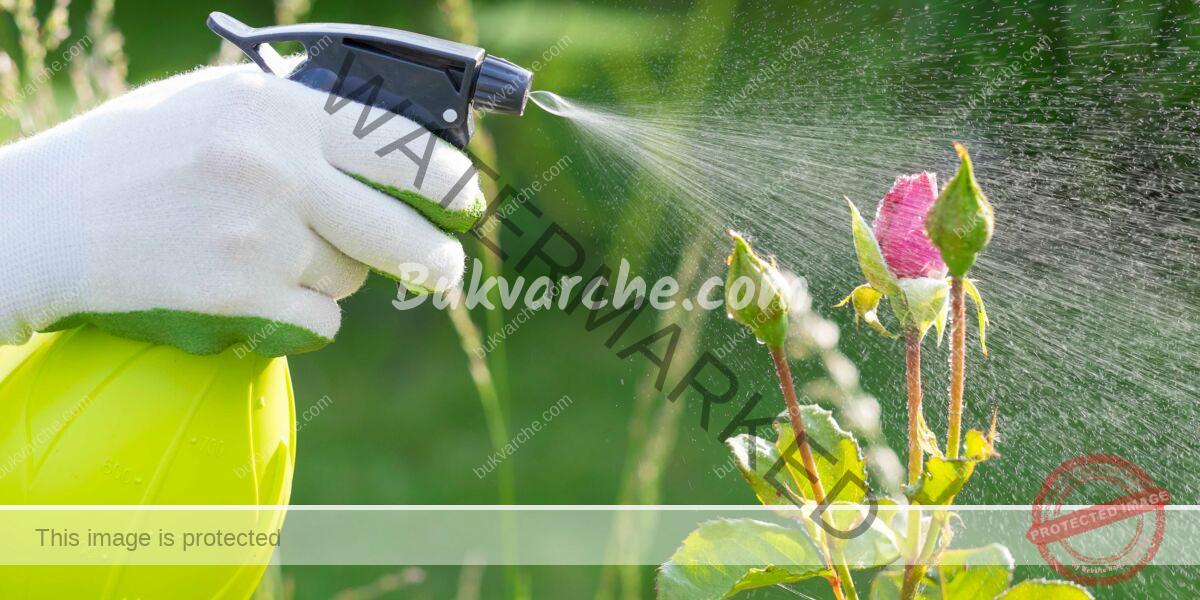 Борба с листните въшки по розите: естествени решения!