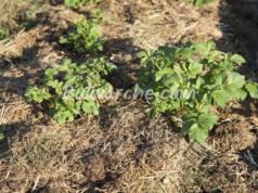 Картофи в сено - лесен начин за отглеждане на богата реколта