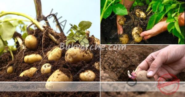 Картофи в сено – лесен начин за отглеждане на богата реколта
