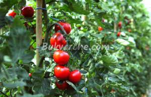 Подрязване на доматите за двойно по-голяма реколта