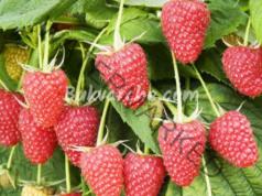 Подхранване на малините за здравословен растеж и богата реколта