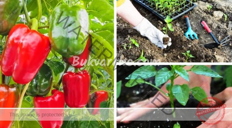 Тор за пипера, който ще ви осигури богата и здрава реколта