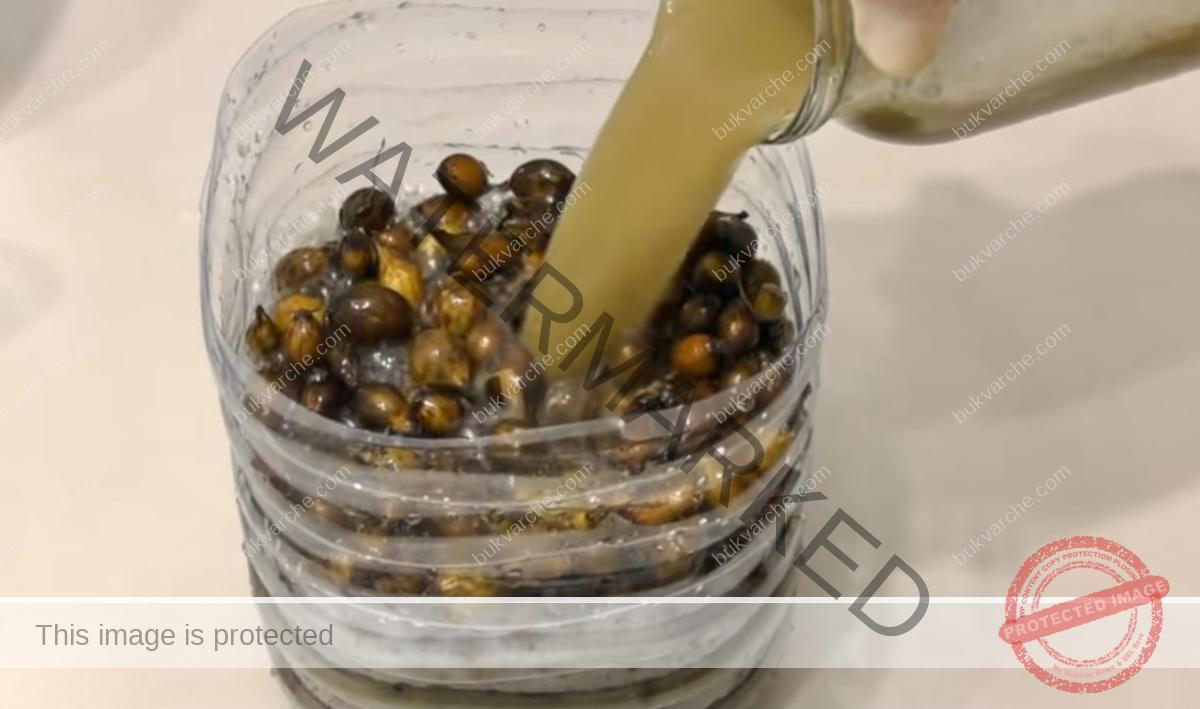 Как да предпазите лука от лукови мухи: трик при засаждането