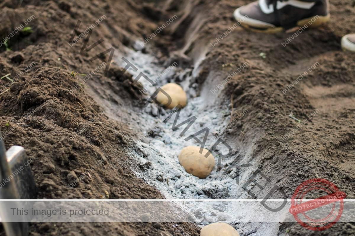 Грижи за картофите за обилна и здрава реколта