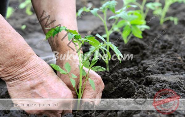 Бананови кори за доматите – естествен тор за здрава реколта