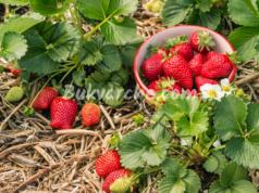 Богата реколта от ягоди с едно подхранване през май