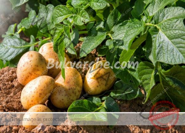 Борба с теления червей по картофите – естествен и безвреден начин
