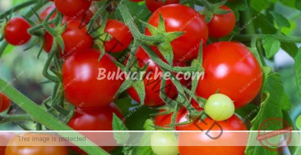 ЕстествеЕстествена защита на доматите и краставиците от болести