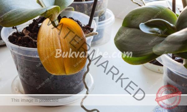 Защо листата на орхидеята пожълтяват? Ето какво да направите