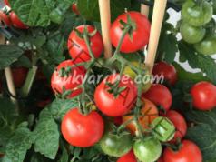 Йод за доматите - подхранване за здрава и богата реколта