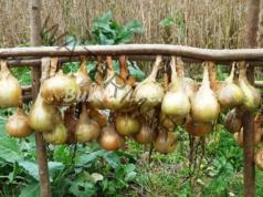 Как да засадите лука, за да получите ранна реколта?