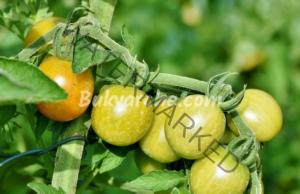 Как да предпазите доматите от болести и вредители?