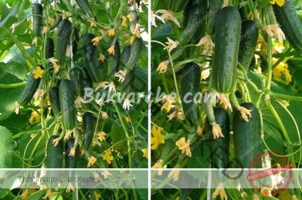 Лоши съседи за краставиците са картофите, чесънът и босилекът