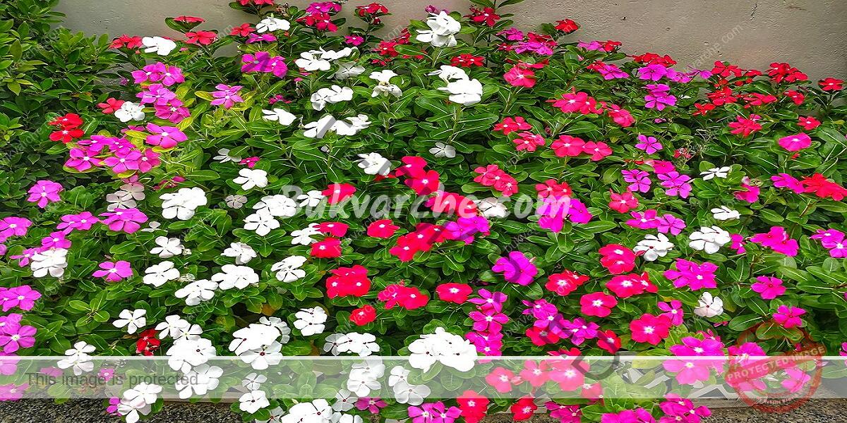 Мляко за подхранване на цветята и растенията в градината