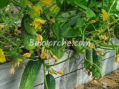 Обилна реколта от краставици през цялото лято