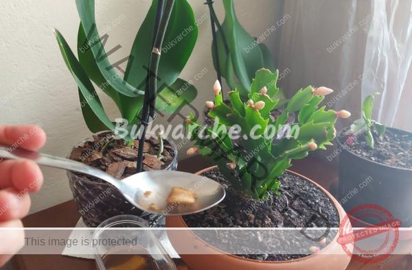 Отвара от бананови кори за подхранване на цветята