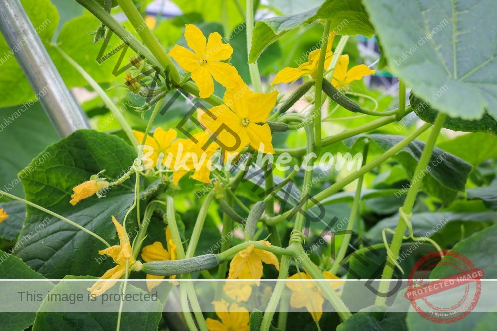 Отвара с хрян срещу болести и вредители по краставиците