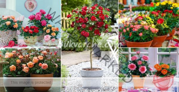 Отглеждане на рози от резници – лесен начин за размножаване