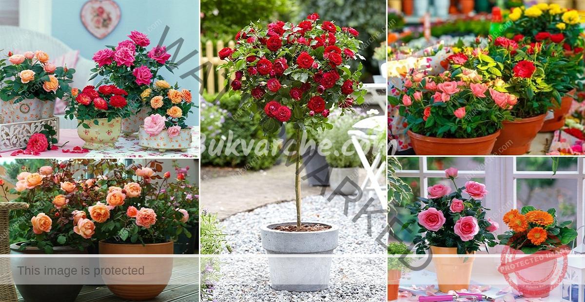 Отглеждане на рози от резници - лесен начин за размножаване