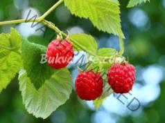 Ползи от малиновите листа при менструални спазми и възпаление