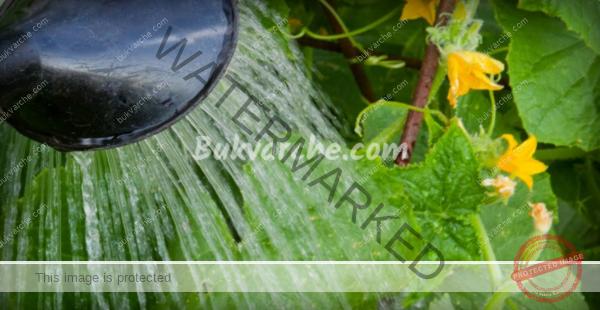 Поливане на краставиците – какви грешки да не допускате