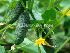 Предпазете краставиците от болести, като премахнете долните листа!