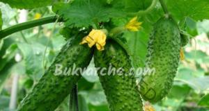 Разтвор за краставици, който ще ги подхрани отлично