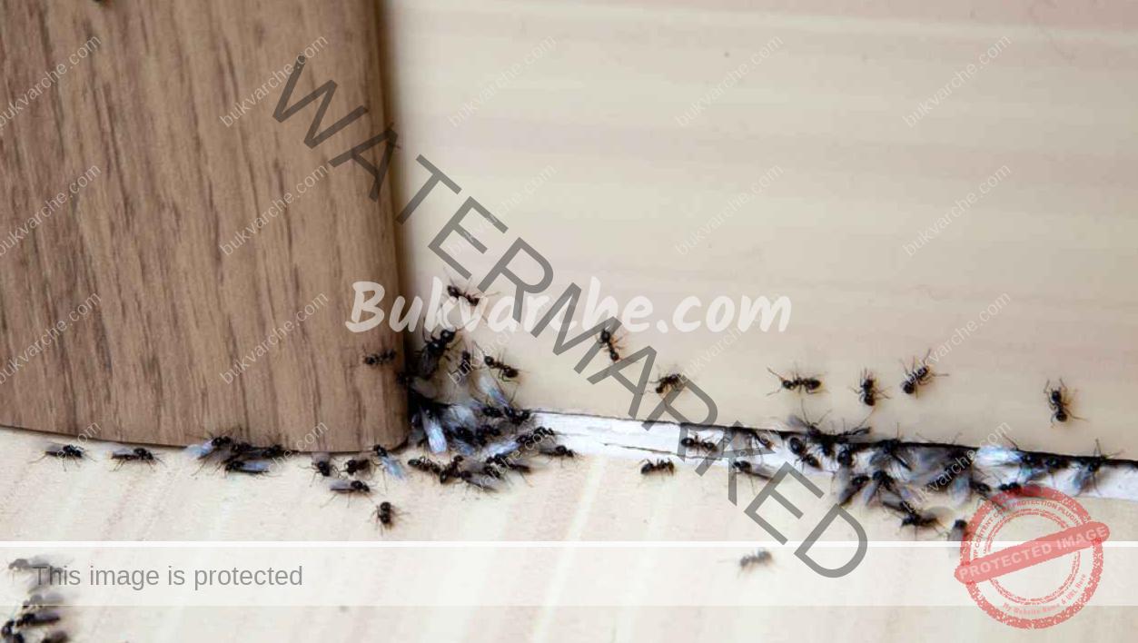 Репелент срещу мравки, който да си направите сами