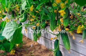 Сода срещу вредители и болести във вашата градина