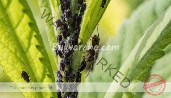 Средства срещу листни въшки, които да си приготвите у дома