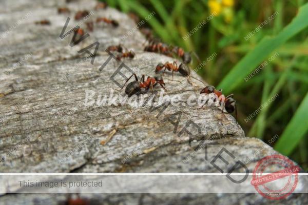 Средство срещу мравките, което ще ги прогони от градината