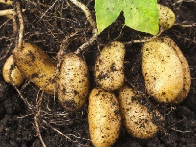 Борба с теления червей по картофите - естествен и безвреден начин