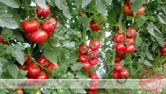 Естествена защита на доматите и краставиците от болести